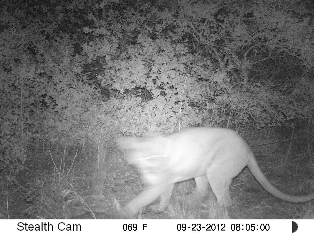 Mountain Lions Drop Deer Population in California