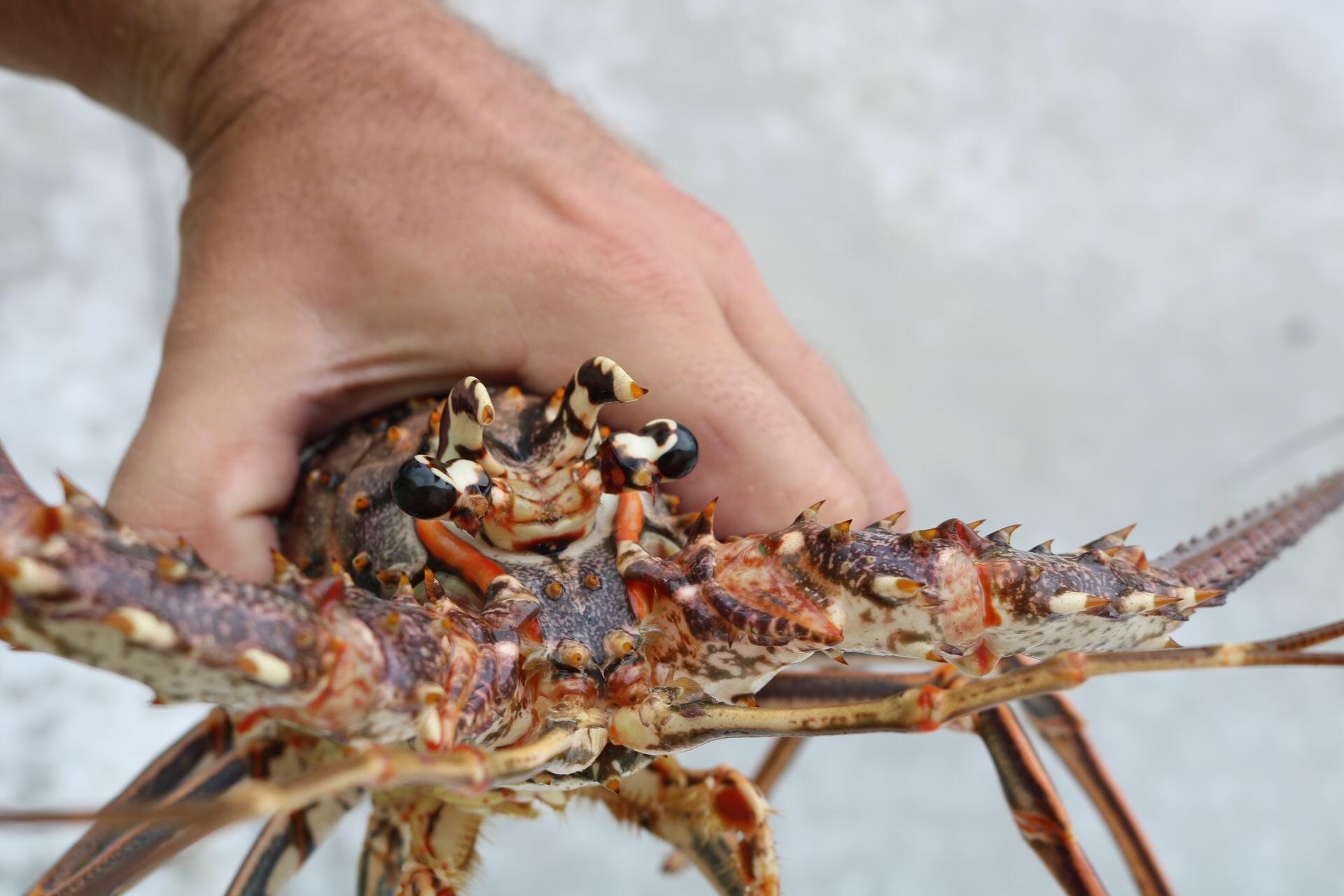 Key Lobster